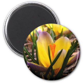 Spring in the air, Crocus are blooming! Magnet