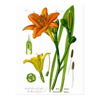 Spring Lily Postcard