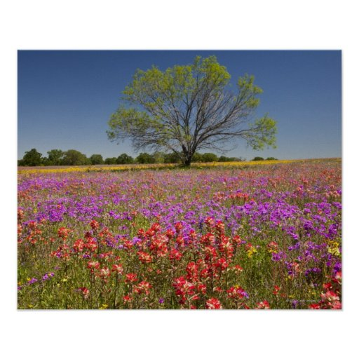 Spring mesquite trees growing in wildflowers poster