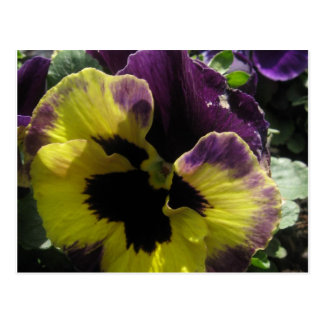 Spring Pansy Postcard