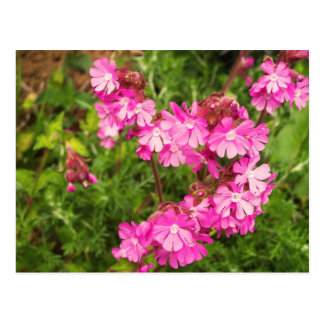 Spring Red Campion Postcard