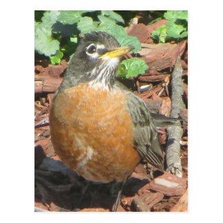 Spring Robin Postcard