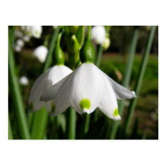Spring Snowdrops Postcard