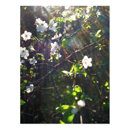Spring Tree Blossoms Postcard