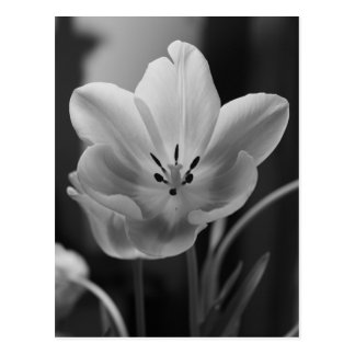 Spring Tulip in Monochrome Postcard