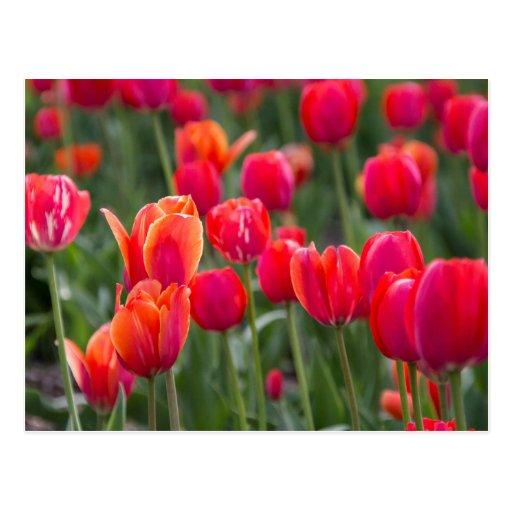 Spring tulips in Edmonton Post Card