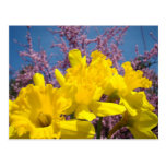 Spring Yellow Daffodil Flowers postcards Blue Sky