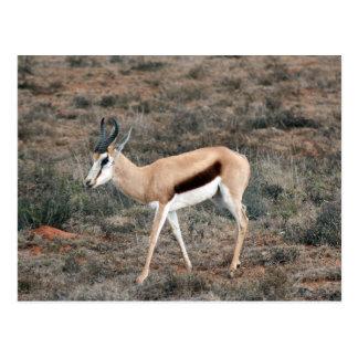 Springbok Postcard