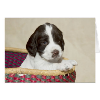 Springer Spaniel Puppy Card