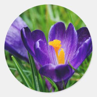 Springtime crocuses classic round sticker