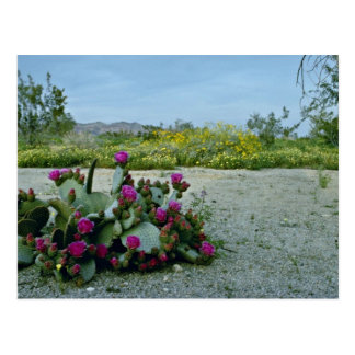 Springtime in the Sonoran Desert Pink flowers Postcard