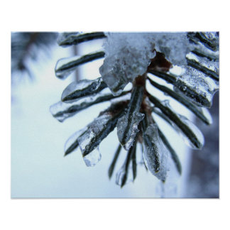 Spruce Needles Encrusted with Ice Poster
