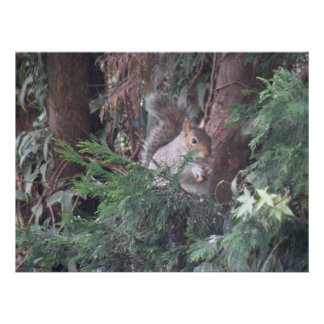 Spruce Tree Squirrel Snacking Postyer Poster
