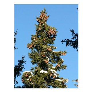 Spruce Tree Top With Cones Postcard