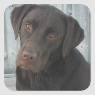 Square Stickers - Chocolate Lab