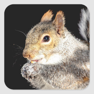Squirrel eating a nut square sticker