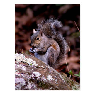 Squirrel enjoying His Meal Postcard