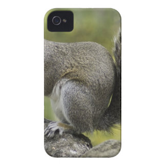 Squirrel Holding Nut During Daytime iPhone 4 Case-Mate Cases