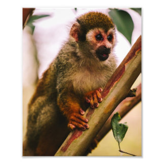 Squirrel Monkey Portrait Photo Print