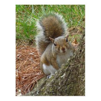"""Squirrel """"Peek-a-boo"""" Postcard"""