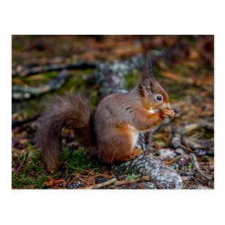 Squirrel Postcard