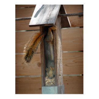 Squirrel Raiding Bird Feeder Postcard