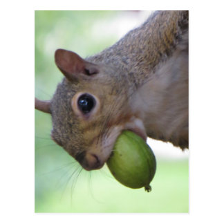 Squirrel With Full Mouth Postcard