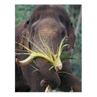 Sri Lanka, Elephant feeds at Pinnewala Elephant Postcard