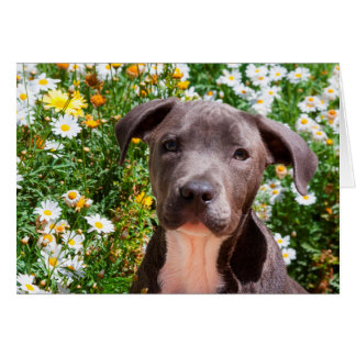 Staffordshire Bull Terrier puppy portrait Card