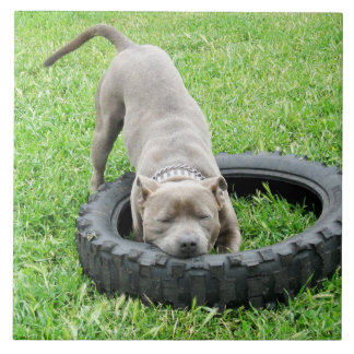 Staffy_Tyre_Play,_Large_Ceramic_Tile_Wall_Coaster Tile