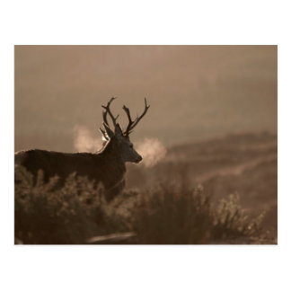 Stags Post Card