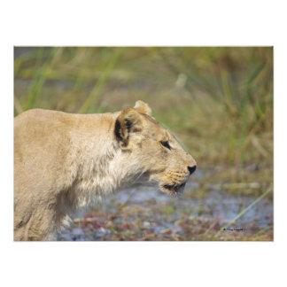 Stalking Lioness Photo Print