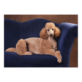 Standard Poodle on Blue Velvet Loveseat Card