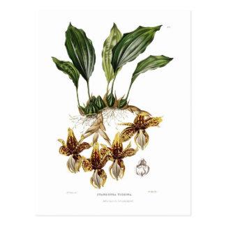Stanhopea tigrina postcard
