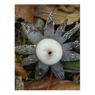 Star Fungus postcard