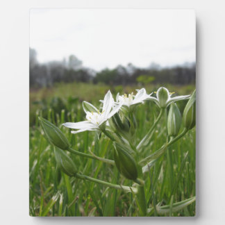Star of Bethlehem flowers  Ornithogalum umbellatum Plaque