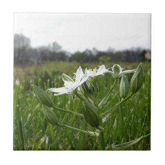 Star of Bethlehem flowers  Ornithogalum umbellatum Tile