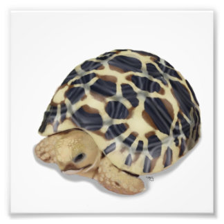 Star Tortoise Print Photo Print
