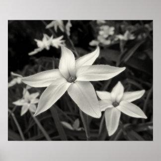 Starflower Black and White Print