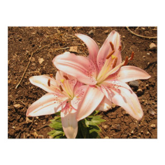 stargazer lilly flower poster
