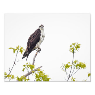 Staring Osprey Art Photo