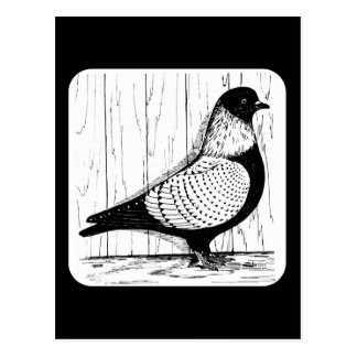 Starling Pigeon Silver-laced 1979 Postcard