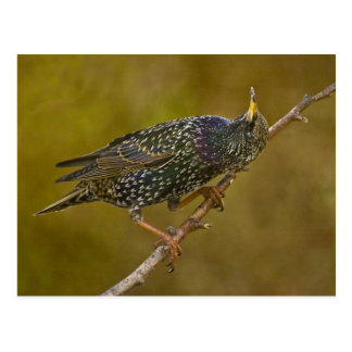 Starling Postcard