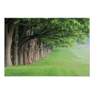 Stately row of trees, Louisville, Kentucky. Photo Print