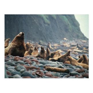 Stellar sea lions on Buldir Island Postcard