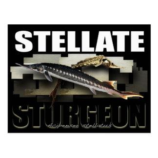 Stellate Sturgeon Postcard 3D
