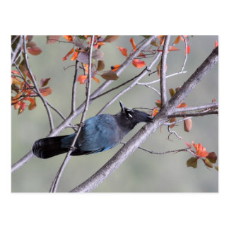 Steller Jay Post Card