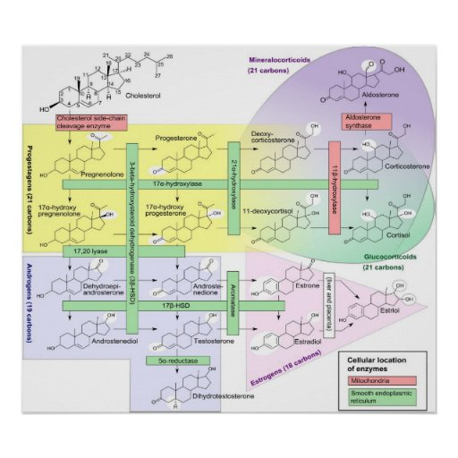 Steroidogenesis Biological Chemical Diagram Poster