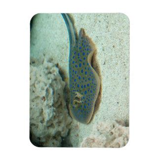 Stingray Blue Magnet