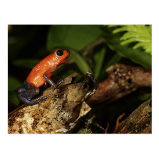 Strawberry Poison-dart frog (Dendrobates 2 Postcard